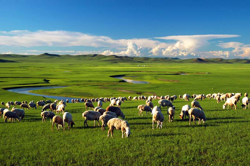 Sheep grazing grass on the plains of Inner Mongolia. (Chan Brothers Travel)