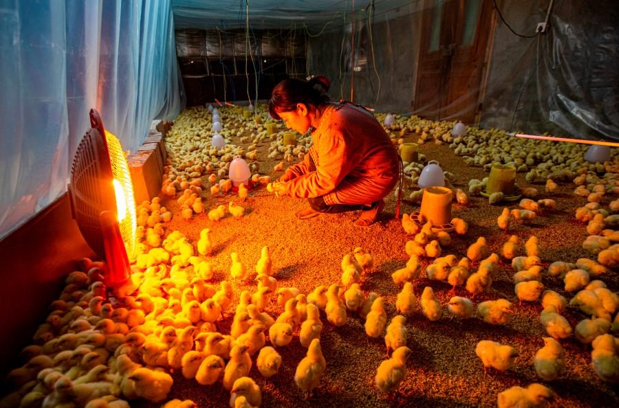 jiangsu chickens