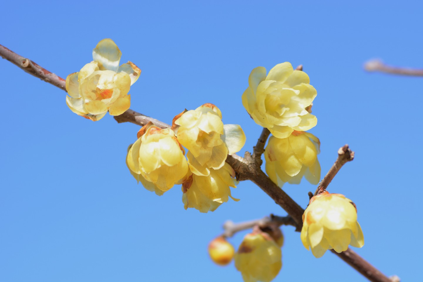 Wintersweet flowers peeked out of their stems like clusters of small bells sculpted from yellow wax. (iStock)