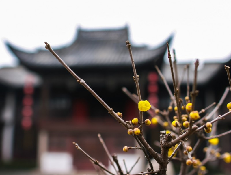 The wintersweet, the last remaining breath of fresh air in this cold, dark, chilly winter of Jiangnan. (iStock)